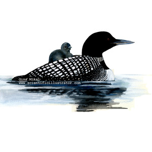 loon-with-baby